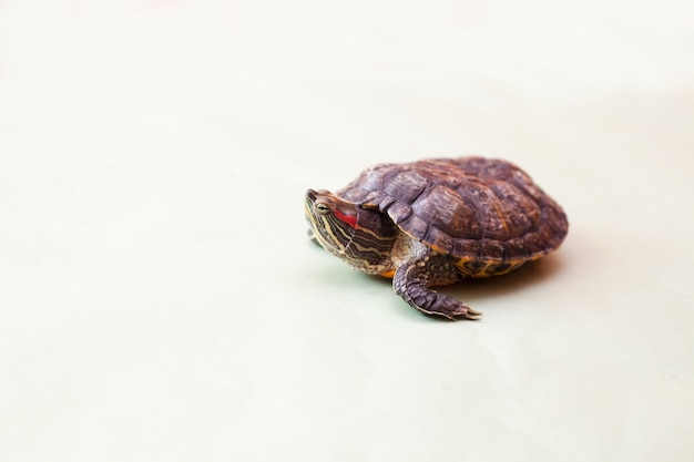Portrait of red-eared turtle on green background