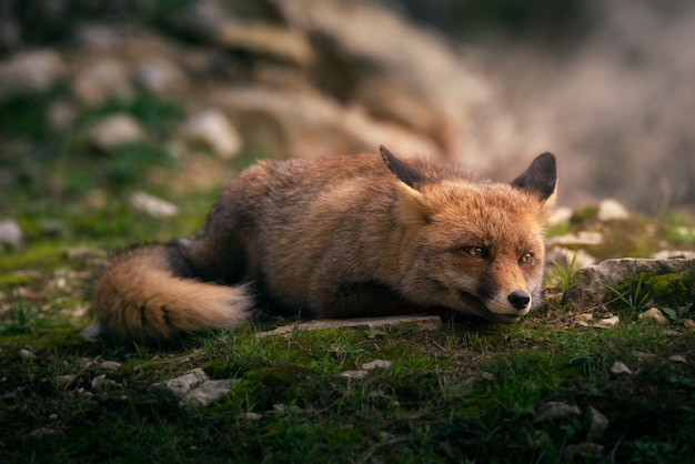 Portrait of a red fox in forest
