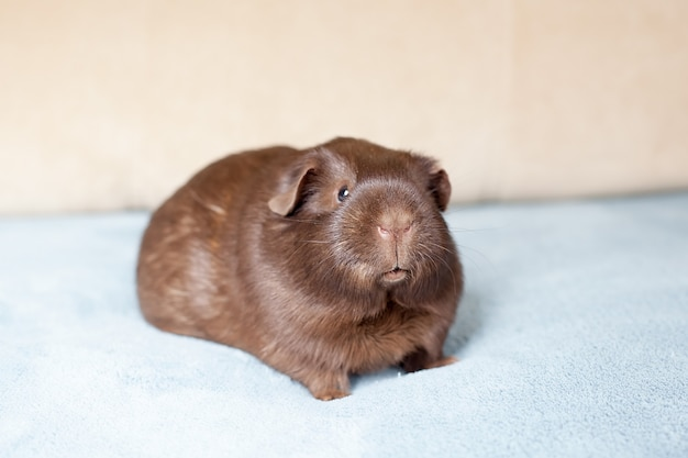 Portrait of red guinea pig