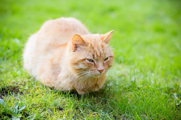 Portrait of red-headed sleepy cat