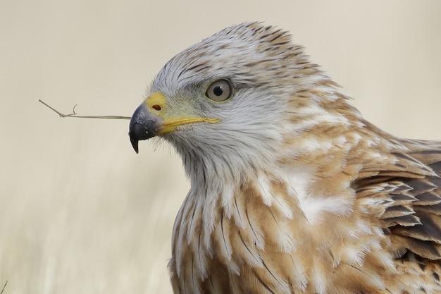 Portrait of a red kite or milvus milvus in the field