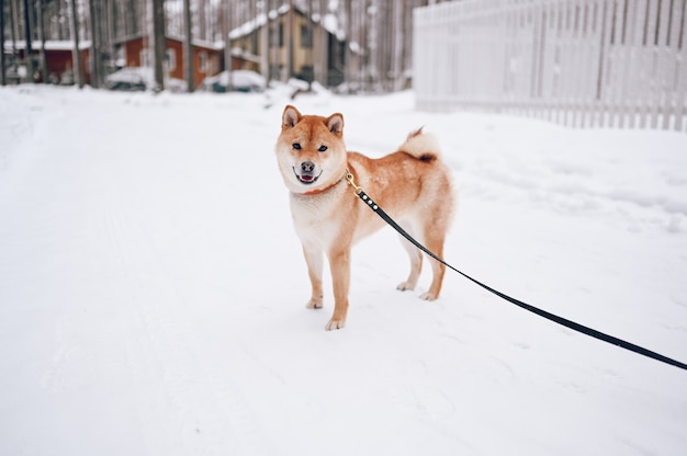 Portrait of a red shiba inu dog with black leash in winter on white snow on the background of country houses