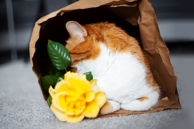 Portrait of red-white cat, hide face behind yellow rose in eco paper bag.