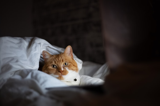 Portrait of red white cat lying on bed with laptop in dark room at home.