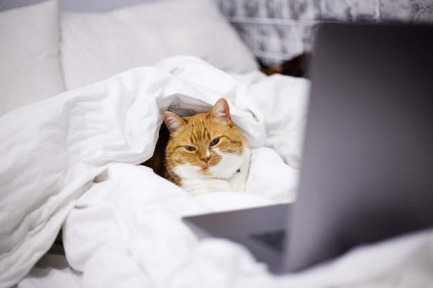 Portrait of red white cat lying on bed with laptop in room at home.