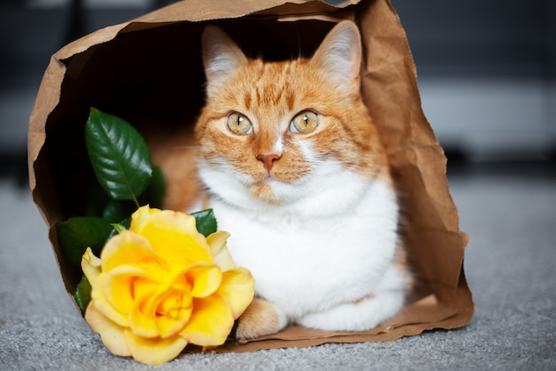 Portrait of red-white cat, lying in eco paper bag near yellow rose flower.