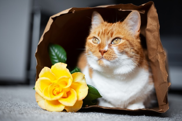 Portrait of red-white cat lying on the floor in eco paper bag, looking away near yellow rose flower.