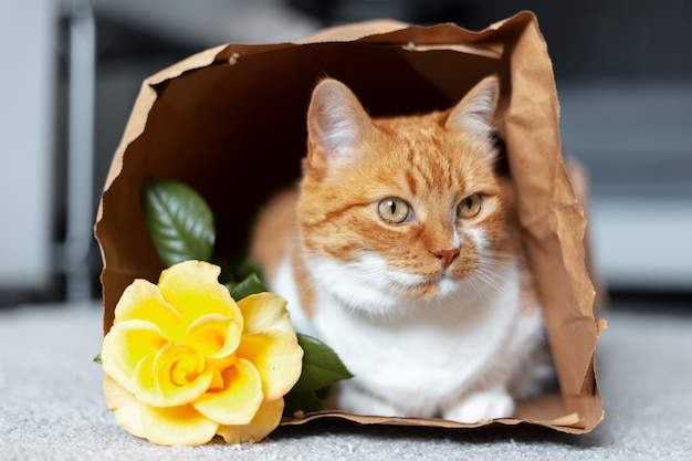 Portrait of red-white cat lying on the floor in eco paper bag near yellow rose flower.