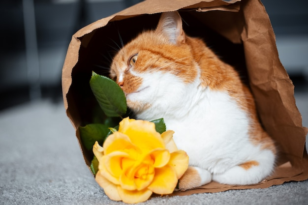 Portrait of red-white cat lying on the floor in eco paper bag, sniffing yellow rose flower.