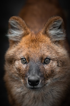 Portrait of a red wolf. wild animal.