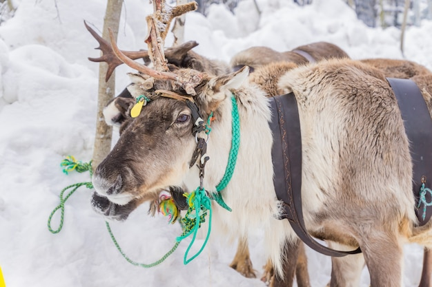 Portrait of reindeer sledding in winter forest.