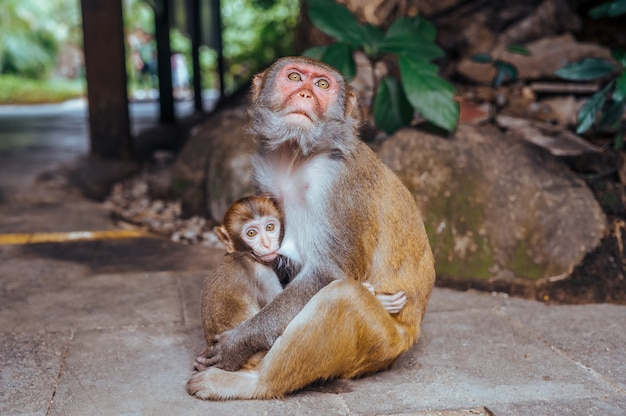 A portrait of the rhesus macaque mother monkey feeding and protects her cute baby child in tropical nature forest park of hainan, china. wildlife scene with danger animal. macaca mulatta.