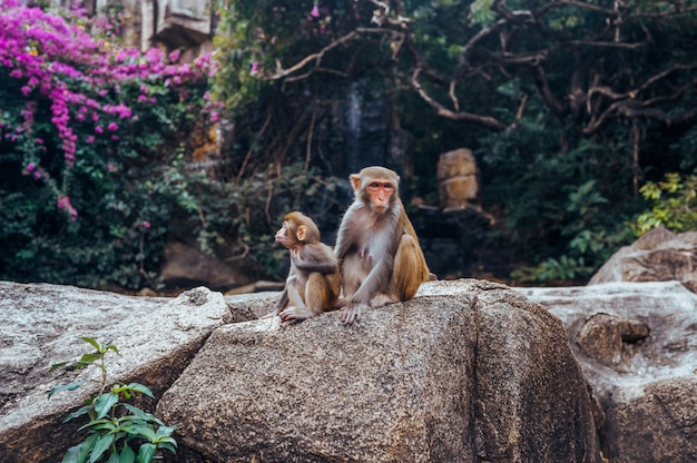 A portrait of the rhesus macaque mother monkey with her cute baby child in tropical nature forest park of hainan, china. wildlife scene with danger animal. macaca mulatta.