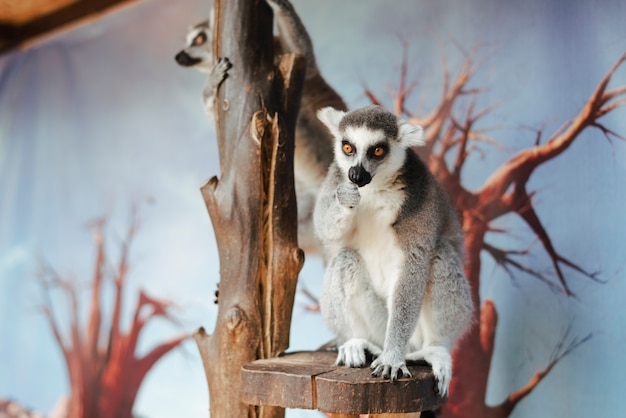 Portrait of ring-tailed lemur on tree in the zoo