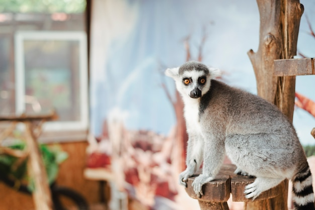 Portrait of ring-tailed lemur on wooden post