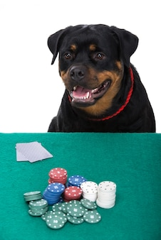 Portrait of rottweiler is playing poker