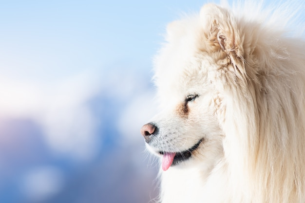 Portrait of samoyed dog with tongue out
