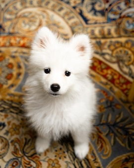 Portrait of samoyed puppy dog