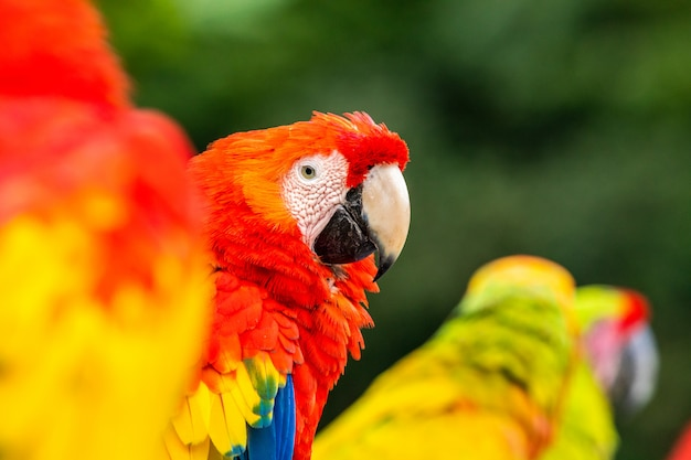 Portrait of the scarlet macaw