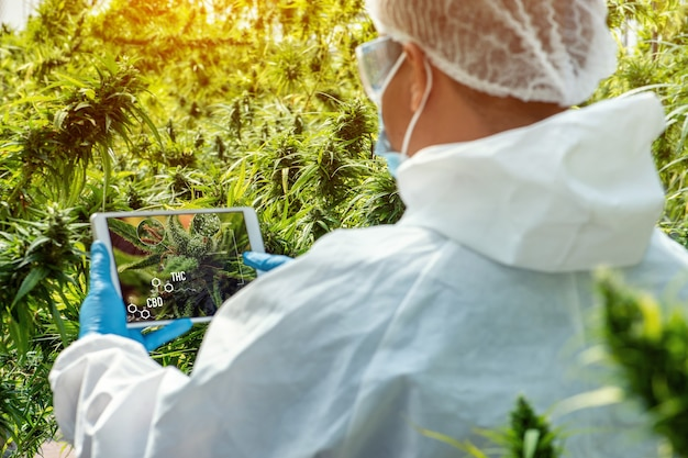 Portrait of scientist with mask , glasses and gloves. checking analysing and results with tablet to patient medical marijuana cannabis flowers in a greenhouse.