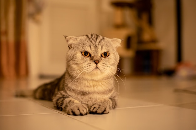 Portrait scottish fold cat in the studio.