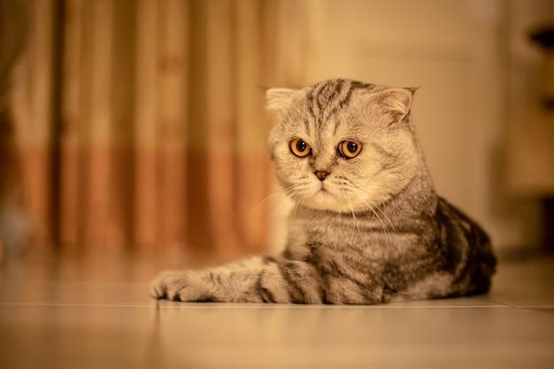 Portrait scottish fold cat in the studio.