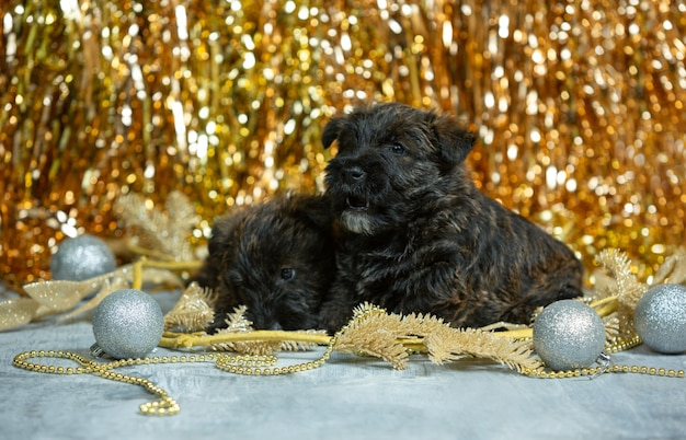 Portrait of scottish terrier puppies on golden colored