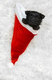 Portrait of scottish terrier puppy on white