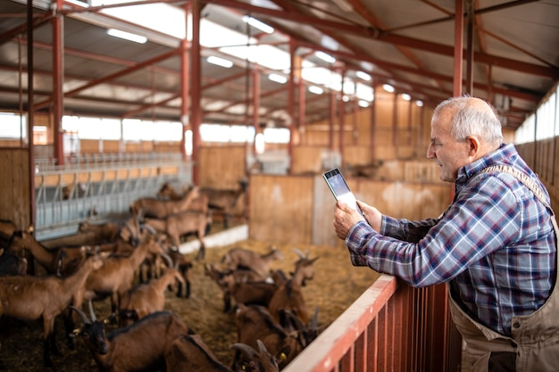 Portrait of senior cattleman with tablet computer and standing by goat domestic animals in farmhouse