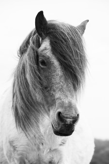 Portrait of a shetland pony roaming free in the new forest