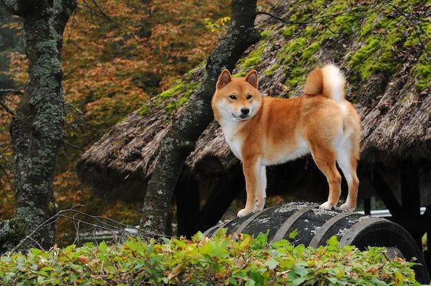 Portrait of shiba dog