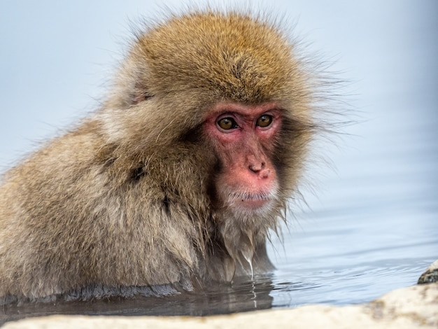 Portrait shot of an adult japanese macaque in water