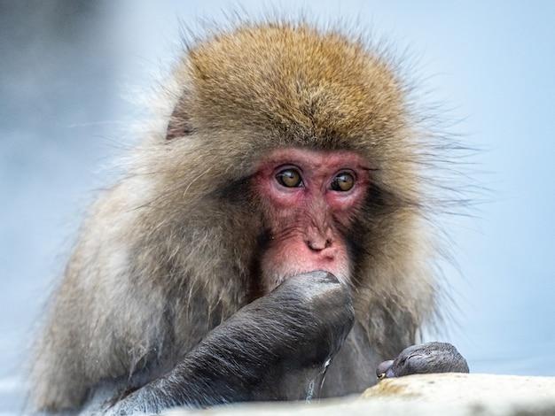 성숙한 일본 원숭이의 초상화 샷 프리미엄 사진
