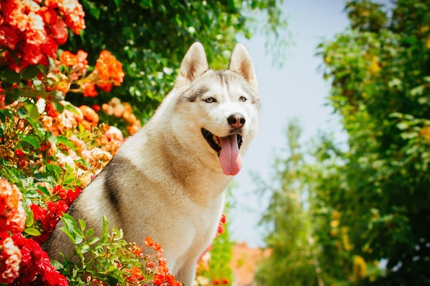 Portrait of a siberian husky. the dog sits near blooming roses. nordic dogs in the summer.