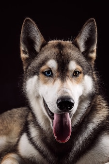 Portrait of siberian husky with different colored eyes on black background