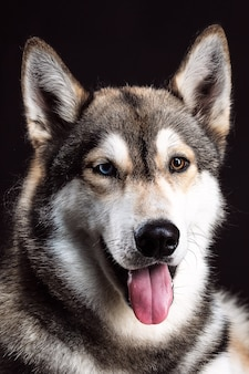 Portrait of siberian husky with different colored eyes on black