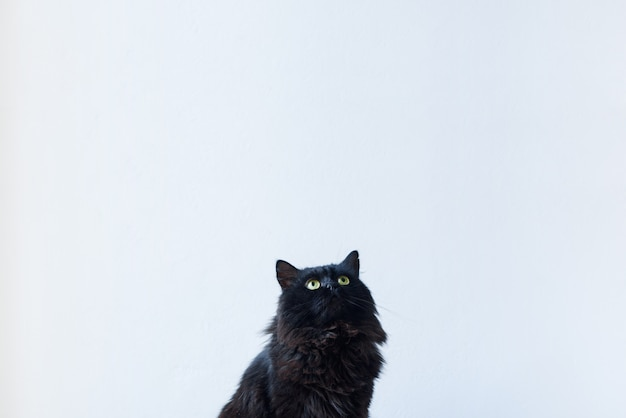 Portrait of a sitting black cat looking up in a living room setting with a white background wall. add your text above.