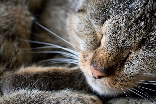 Portrait of a sleeping cat's moustache and nose close-up.