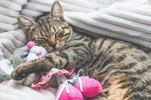 Portrait of a sleeping cat and soft toys