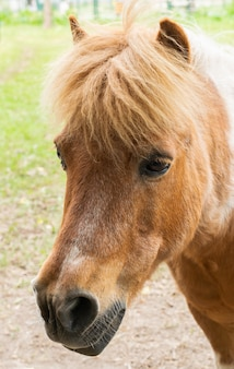 Portrait of a small chestnut pony horse.