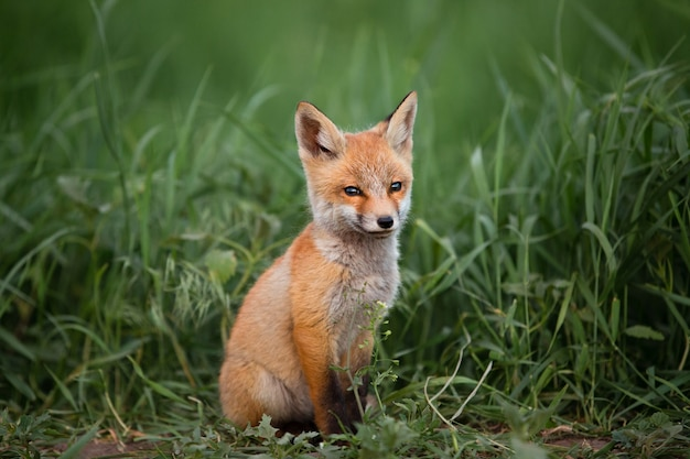 Portrait of a small red fox against the green grass