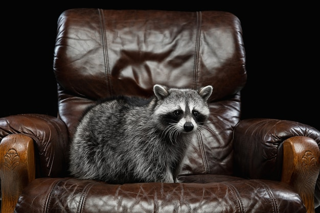 Portrait of small white grey raccoon on black