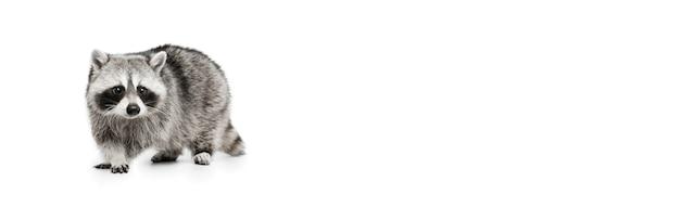 Ritratto di piccolo procione grigio bianco isolato su bianco