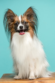 Portrait of a small yawning puppy papillon