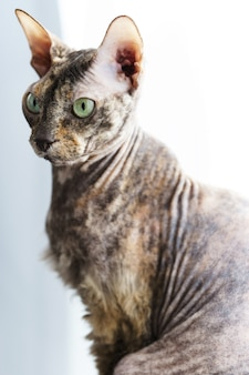 Portrait of smart donskoy sphynx cat at home