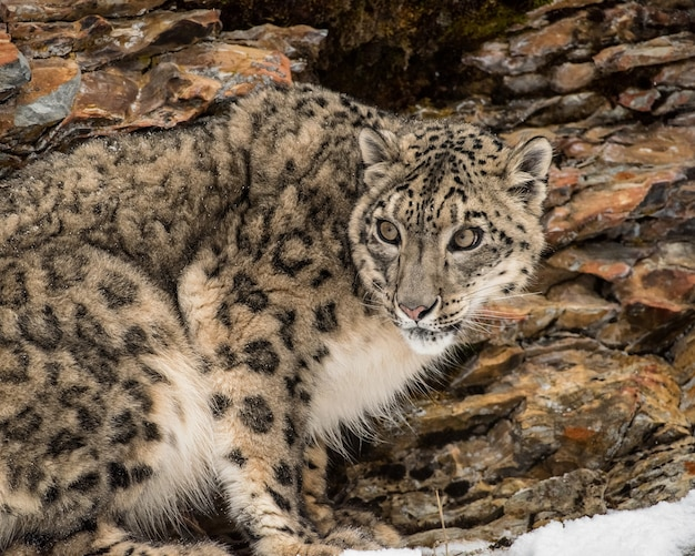 Portrait of a snow leopard in the snow, close up