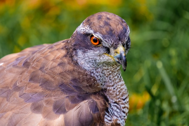 Portrait of a spanish hawk in the nature