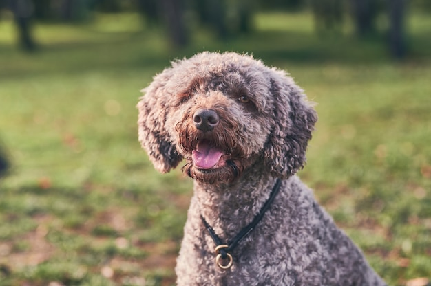 Portrait of spanish water dog with tongue out