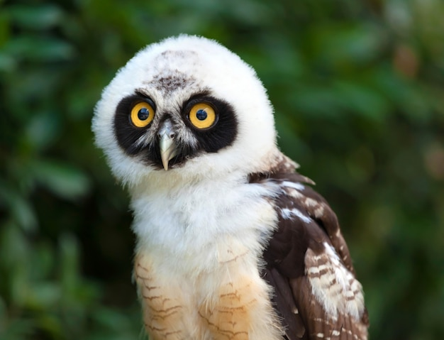 Portrait of spectacled owl