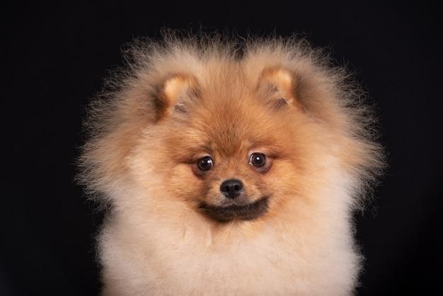 Portrait of spitz dog